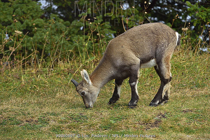 Alpine Ibex (Capra ibex) foraging, Creux du Van, Neuchatel, Switzerland, September