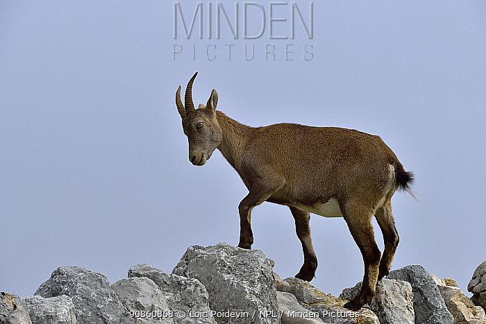 Alpine Ibex (Capra ibex) on rocks, Creux du Van, Neuchatel, Switzerland, September