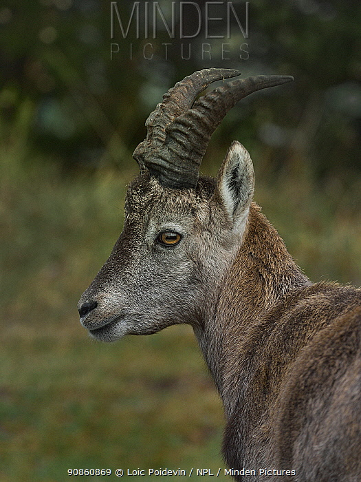 Alpine Ibex (Capra ibex), Creux du Van, Neuchatel, Switzerland, September