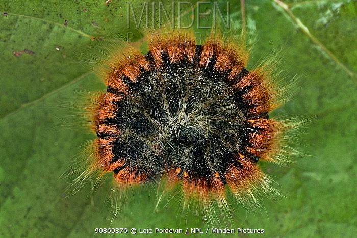 Fox moth (Macrothylacia rubi) caterpillar curled up, Vendee, France, September
