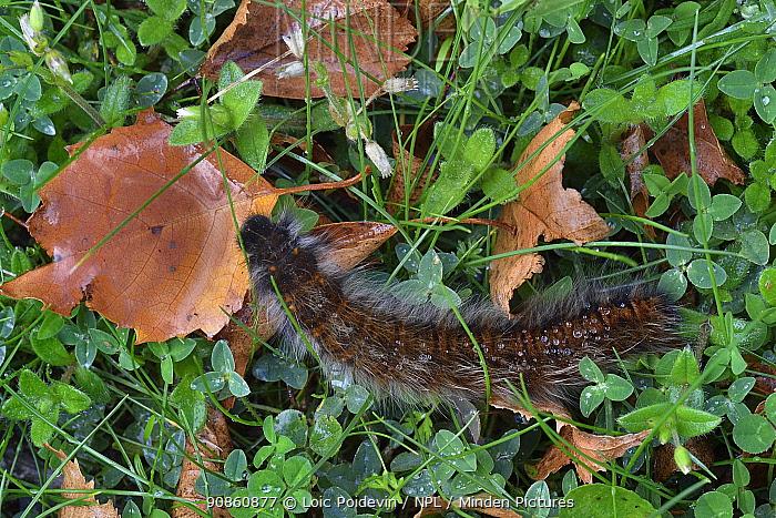 Fox moth (Macrothylacia rubi) Vendee, France, September.