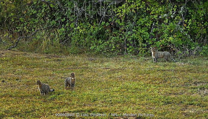 Wildcat (Felis sylvestris) group of three, Asturias, Spain, September.