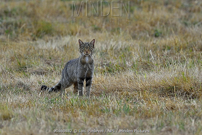 Wild cat (Felis sylvestris) during hunt, Asturias, Spain, September