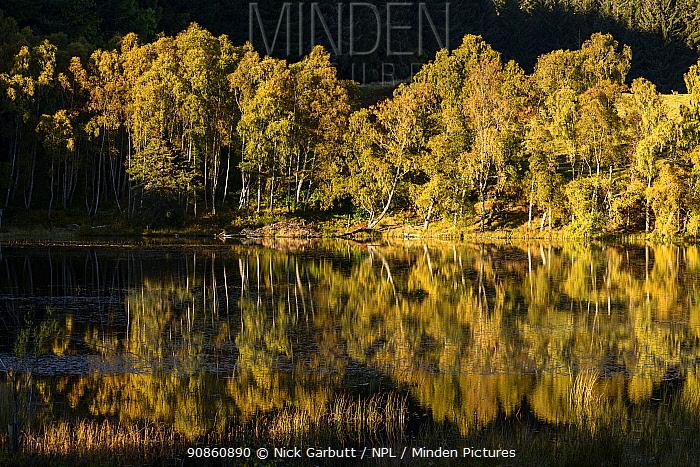 Downy birch (Betula pubescens) and Silver birch (Betula pendula) and reflections. Loch Aigas. Aigas Field Centre, near Inverness, Scotland. October