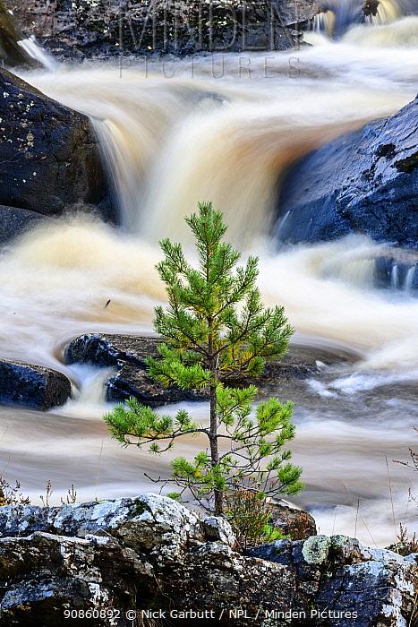 Scots pine sapling (Pinus sylvestris) growing on rocky island. Rogie Falls, Blackwater River. Caledonian forest, Reilig Glen, Scottish Highlands. Scotland. October.