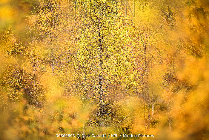 Downy birch (Betula pubescens) changing to autumn colours. Caledonian pine forest, Glen Affric, Scottish Highlands. Scotland. October.