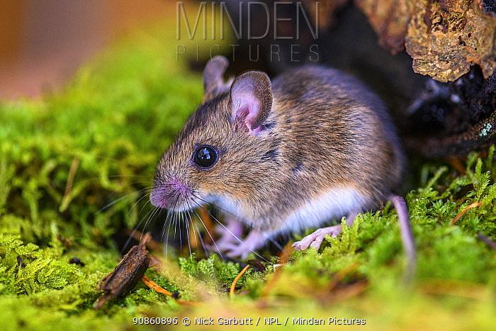 Wood mouse (Apodemus sylvaticus) Aigas Field Centre, near Inverness, Scotland.