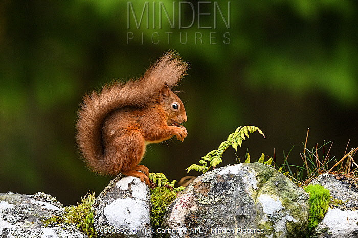 Red squirrel (Sciurus vulgaris) foraging on dry stone wall. Aigas Field Centre, Scottish Highlands. Scotland. October.