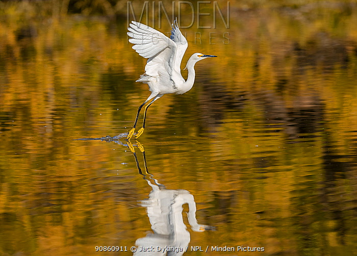 Snowy egret (Egretta thula) taking off from the Riparian Reserve pond, with autumn reflections of yellow ash tree on the water. Gilbert Riparian Preserve, Gilbert, Arizona, USA. December.