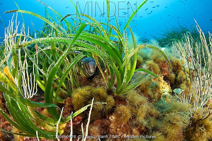 Morey eel (Muraena helena) in seagrass meadow (Posidonia oceanica) Punta Carena, Capri Island, Sorrentine Peninsula, Italy, Tyrrhenian Sea, Mediterranean.