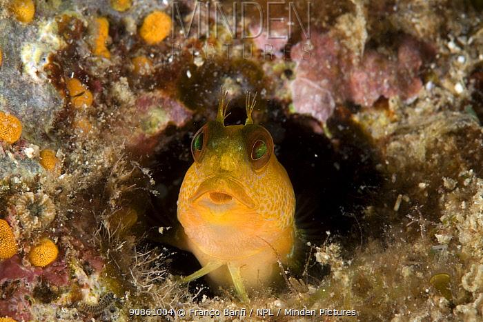 Blenny (Parablennius zvonimiri) Vervece Rock, Punta Campanella Marine Protected Area, Costa Amalfitana, Italy, Tyrrhenian Sea, Mediterranean.