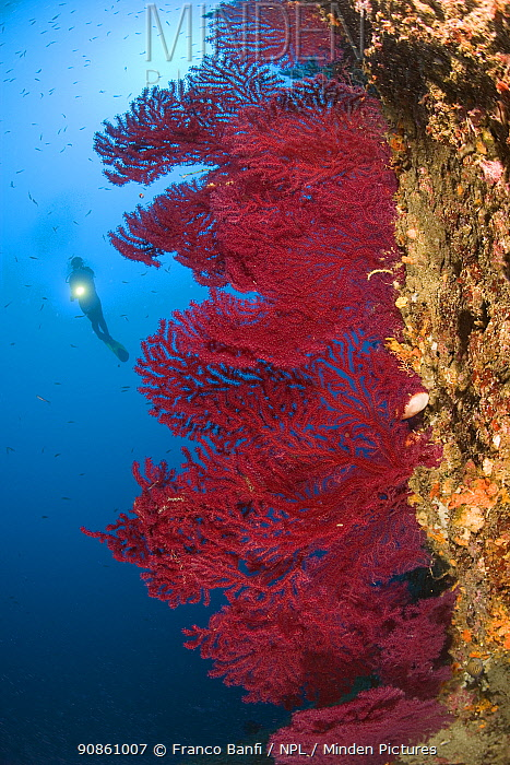 Scuba diver with Red gorgonian (Paramuricea clavata) Punta Campanella Marine Protected Area, Costa Amalfitana, Italy, Tyrrhenian Sea, Mediterranean.