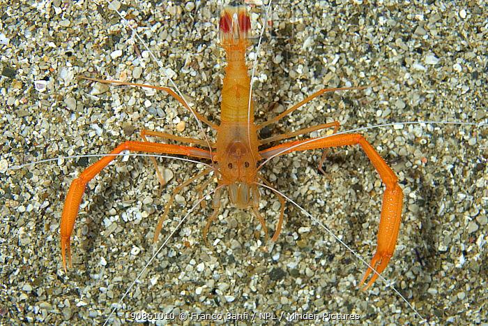 Mediterranean boxer shrimp (Stenopus spinosus) Mitigliano Cave, Punta Campanella Marine Protected Area, Costa Amalfitana, Italy, Tyrrhenian Sea, Mediterranean.