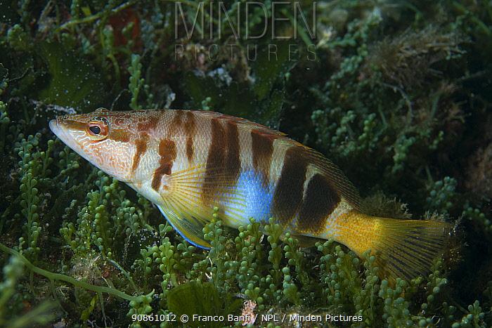 Painted comber (Serranus scriba) Punta Campanella Marine Protected Area, Costa Amalfitana, Italy, Tyrrhenian Sea, Mediterranean.