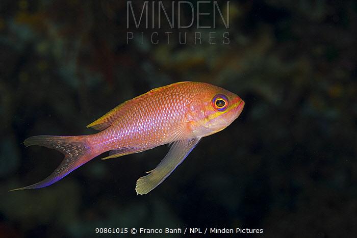 Mediterranean fairy basslet (Anthias anthias), Punta Campanella Marine Protected Area, Costa Amalfitana, Italy, Tyrrhenian Sea, Mediterranean.