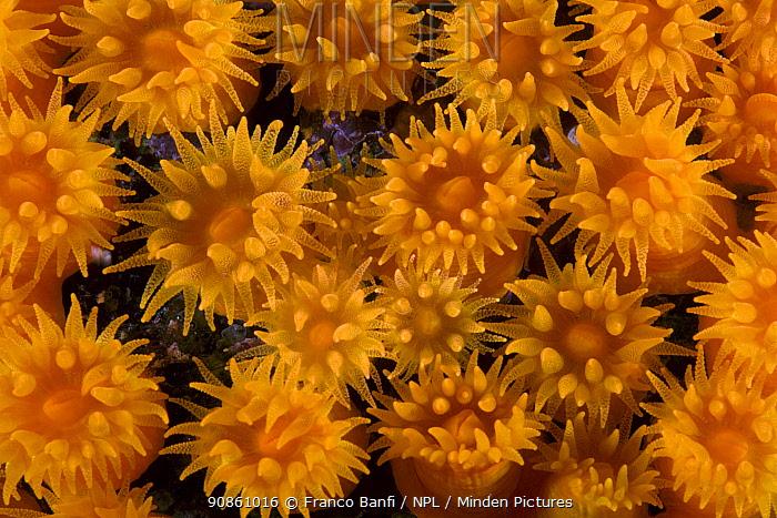 Coral (Astroides calycularis) Punta Campanella Marine Protected Area, Costa Amalfitana, Italy, Tyrrhenian Sea, Mediterranean.