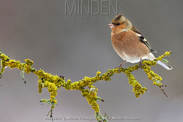Chaffinch (Fringilla coelebs) perched on branch in winter, Lorraine, France, January