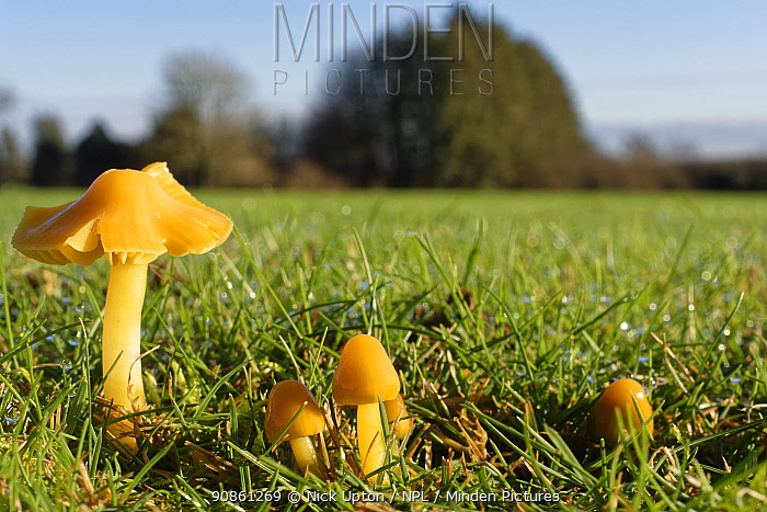 Parrot waxcap (Hygrocybe psittacina) clump growing on a golf course, Box, Wiltshire, UK, November.