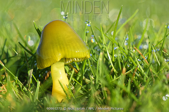 Parrot waxcap (Hygrocybe psittacina) growing on a golf course, Box, Wiltshire, UK, November.