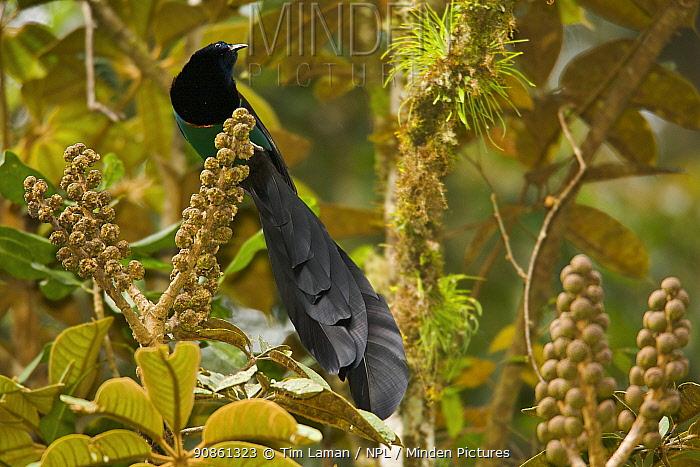 Huon Astrapia (Astrapia rothschildi) adult male at a fruiting Shefflera tree, Papua New Guinea