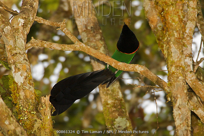 Huon Astrapia (Astrapia rothschildi) adult male at a display perch, Papua New Guinea