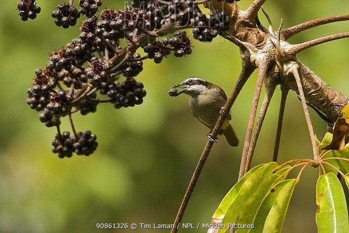 Huon Astrapia (Astrapia rothschildi) female feeding on Shefflera fruit, Papua New Guinea