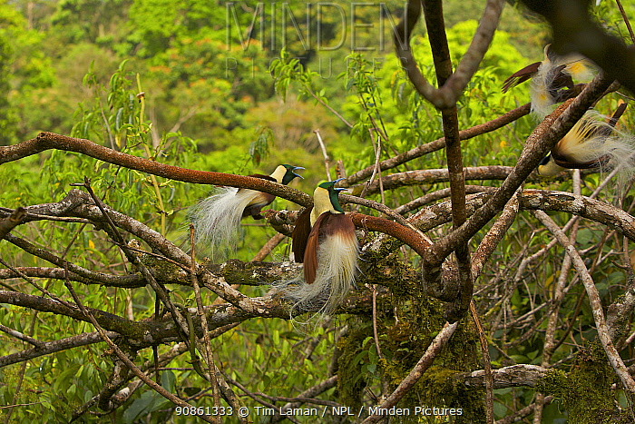 Emperor Bird of Paradise (Paradisaea guilielmi) males displaying at their lek in the top of the rain forest canopy. Their display includes a inverted dance in which they hang below the branch and spread their plumes to show to females watching from above. Papua New Guinea