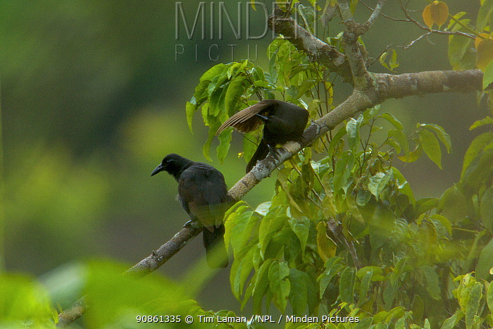 Paradise Crow (Lycocorax pyrrhopterus) perched in a tree whilst another cleans its feather, in a rain forest clearing on Halmahera, Papua New Guinea