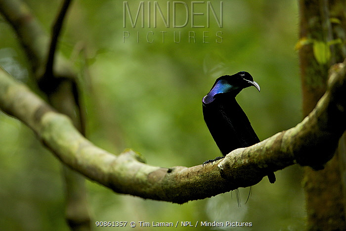 Magnificent Riflebird (Ptiloris magnificus) male displaying to female from his display vine, Papua New Guinea