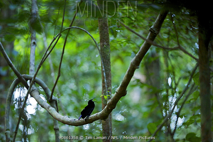 Magnificent Riflebird (Ptiloris magnificus) male calling to female from his display vine, Papua New Guinea