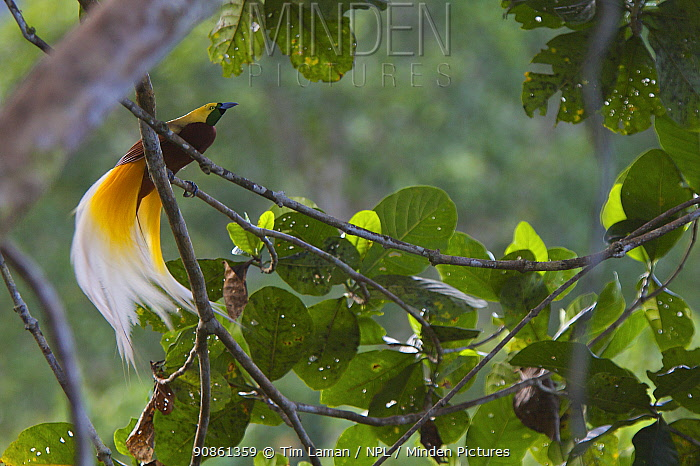 Lesser Bird of Paradise (Paradisaea minor) male in the canopy of his display (lek) tree, Papua New Guinea