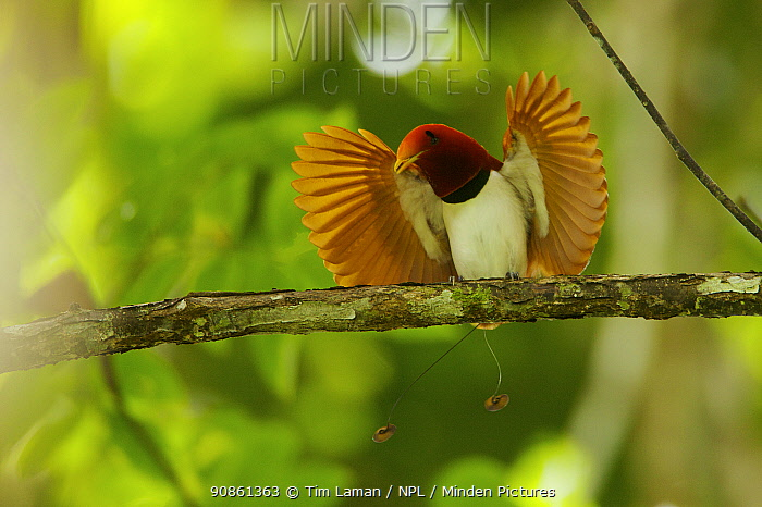 King bird of paradise (Cicinnurus regius) male performing open wings display, Papua New Guinea