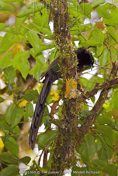 Arfak Astrapia (Astrapia nigra) male perched in tree, Papua New Guinea