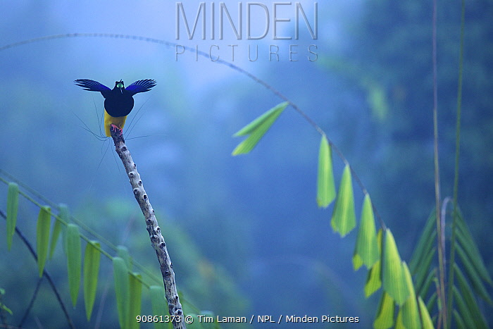 Twelve wired Bird of Paradise (Seleucidis melanoleuca) male at display perch in the swamp rain forest at Nimbokrang, Papua, Indonesia, Island of New Guinea. Winner, Special Award Portfolio, Wildlife Photographer of the Year (WPOY) 2014 competition.