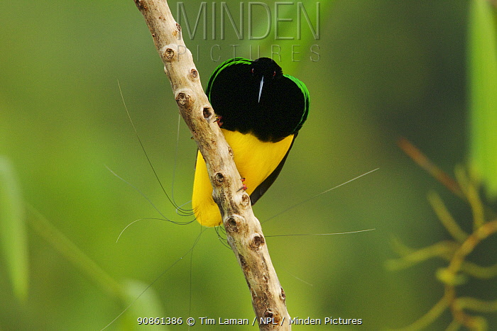 Twelve wired Bird of Paradise (Seleucidis melanoleuca) male at his display pole in the swamp rain forest at Nimbokrang, Papau, Indonesia, Island of New Guinea.