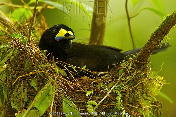 Long-tailed Paradigalla (Paradigalla carunculata) female sitting at nest, Papua New Guinea