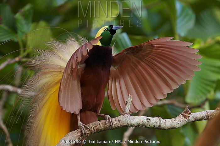 Greater Bird of Paradise (Paradisaea apoda) male performing upright wing pose display at lek,  Badigaki Forest, Wokam Island in the Aru Islands, Indonesia.