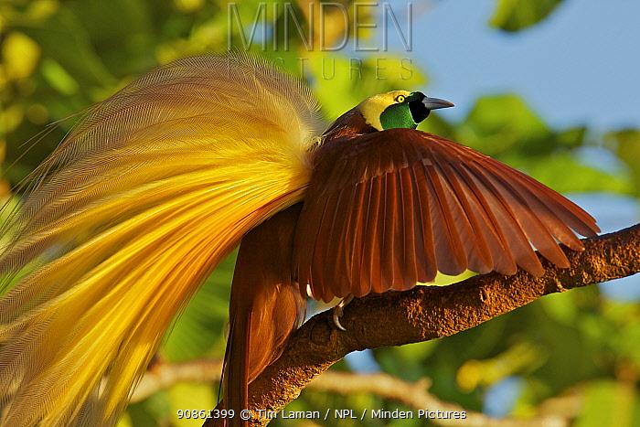Greater Bird of Paradise (Paradisaea apoda) male performing upright wing pose display, Badigaki Forest, Wokam Island in the Aru Islands, Indonesia.