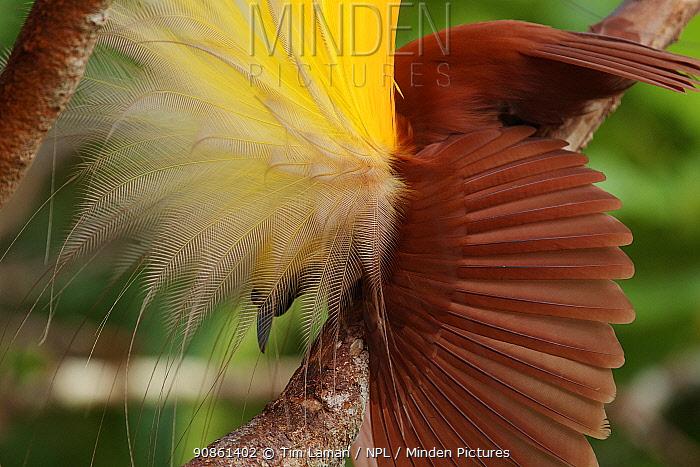 Greater Bird of Paradise (Paradisaea apoda) male performing inverted static display, Badigaki Forest, Wokam Island in the Aru Islands, Indonesia.