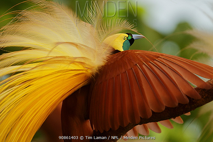 Greater Bird of Paradise (Paradisaea apoda) male performing upright wing pose display, Badigaki Forest, Wokam Island in the Aru Islands, Indonesia. Not available for prints or wall art worldwide