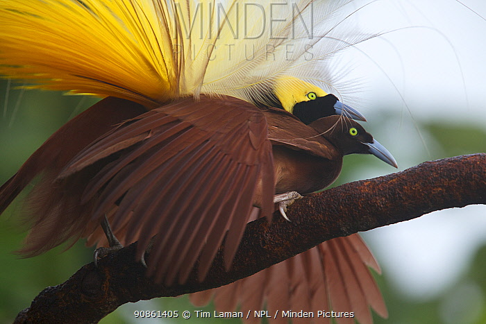Greater Bird of Paradise (Paradisaea apoda) male performing pre-copulatory phase tapping the back of the female's neck. Badigaki Forest, Wokam Island in the Aru Islands, Indonesia.