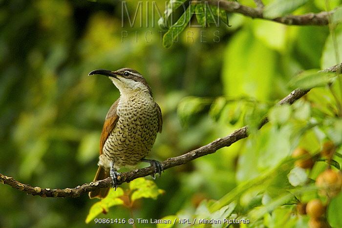 Paradise Riflebird (Ptiloris paradiseus) young male or female feeding on fruit of Dysoxylum tree, Papua New Guinea