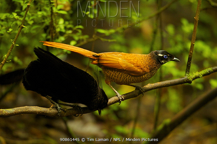 Wahnes's Parotia (Parotia wahnesi) male and female on perch above display court, Papua New Guinea