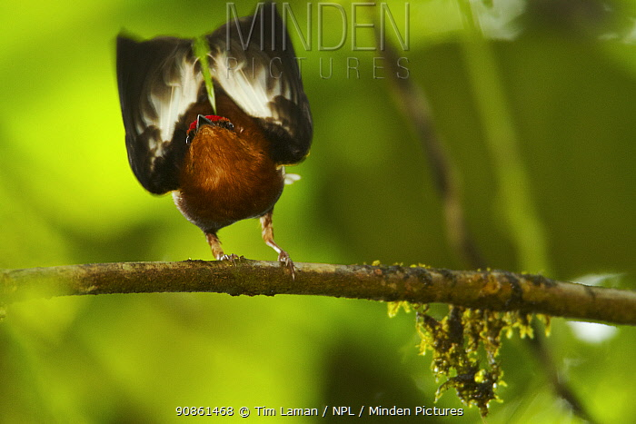 Male Club-winged Manakin (Machaeropterus deliciosus) hitting his wings (stridulating) together over his back to attract mate, Endemic, Milpe Cloudforest Reserve, Ecuador, January.