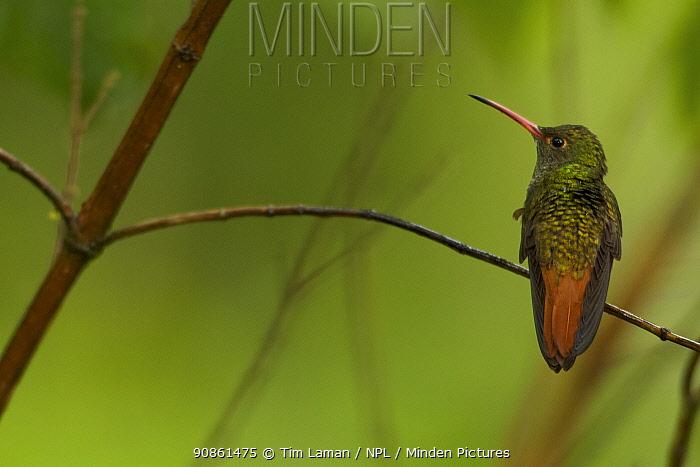 Rufous-tailed Hummingbird (Amazilia tzacatl), Milpe Cloudforest Reserve, Ecuador, January.