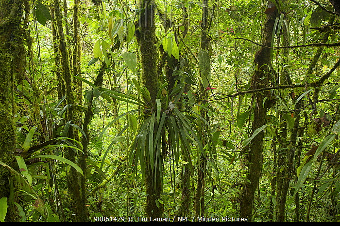 Cloud forest interior view, Milpe Cloudforest Reserve, Ecuador, February.