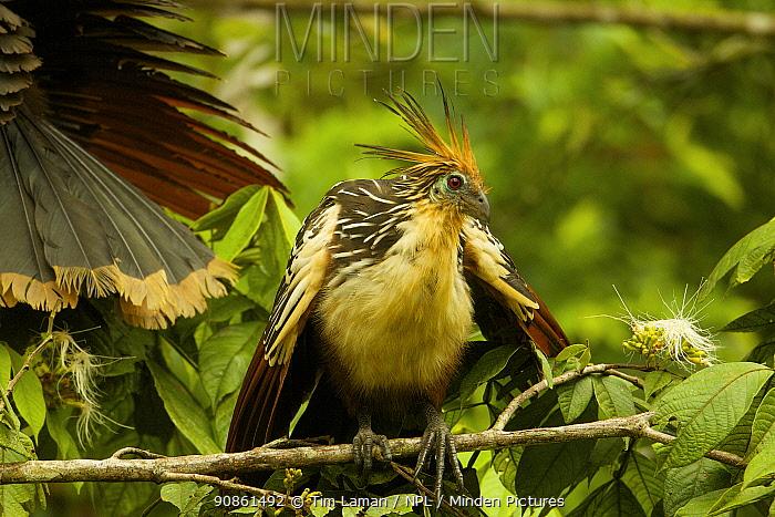 Hoatzin (Opisthocomus hoazin) along Anangu creek in Yasuni National Park, Orellana Province, Ecuador, July.