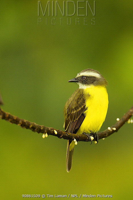 Social Flycatcher (Myiozetetes similis) at Napo Wildlife Center, Yasuni National Park, Orellana Province, Ecuador, July.