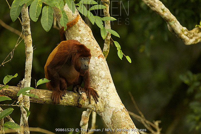 Red Howler Monkey (Alouatta seniculus) in tree near the canopy tower at the Tiputini Biodiversity Station, Orellana Province, Ecuador, July.