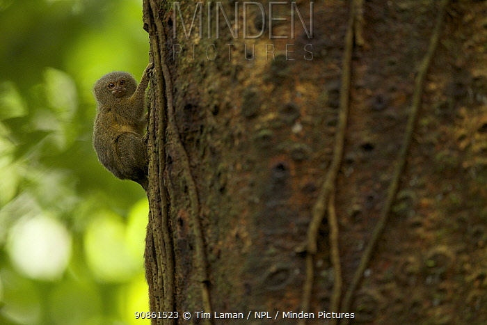 Pygmy Marmoset (Callithrix pygmaea) in Yasuni National Park, Orellana Province, Ecuador, July.